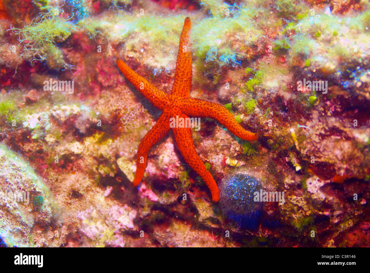 Seastar, scuba diving, underwaterphotography, Vela Luka, Croazia. Immagini Stock