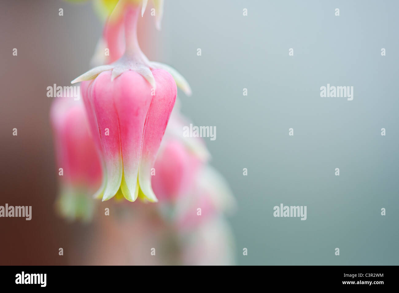 Echeveria sanchez mejoradae fiori Immagini Stock