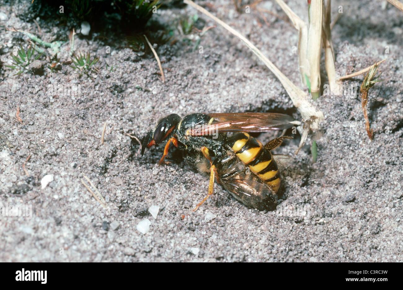 Bee-killer wasp femmina (Philanthus triangulum) con il suo miele delle api preda inizia ad aprire il suo nido burrow Immagini Stock
