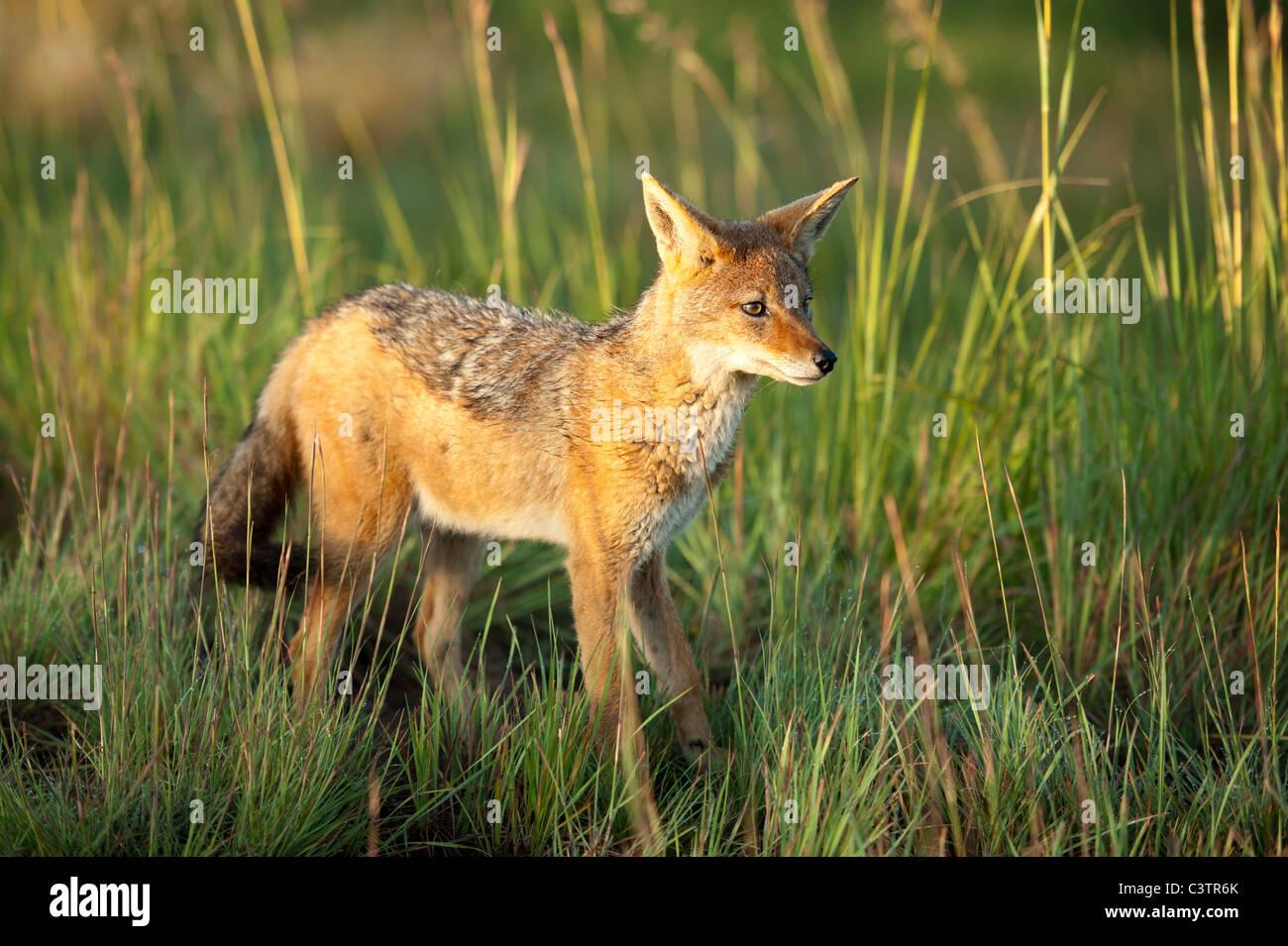 Nero-backed Jackal (Canis mesomelas), Golden Gate Highlands National Park, Sud Africa Foto Stock