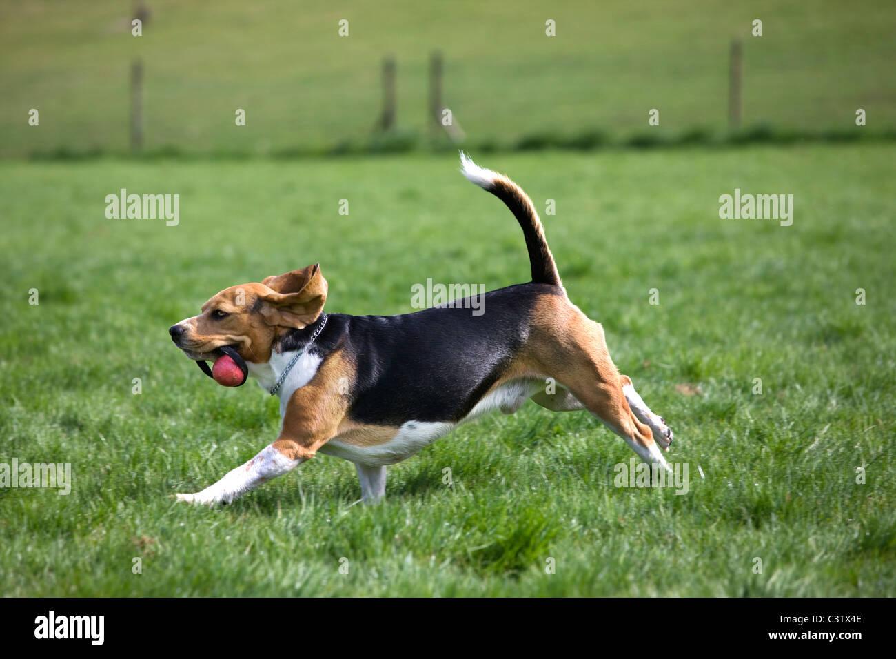 Beagle (Canis lupus familiaris) in esecuzione con la palla in bocca Immagini Stock