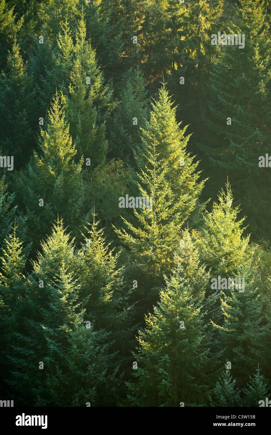 Retroilluminato con alberi di pino lungo il fiume Wye sotto Symonds Yat in Herefordshire, Inghilterra Immagini Stock
