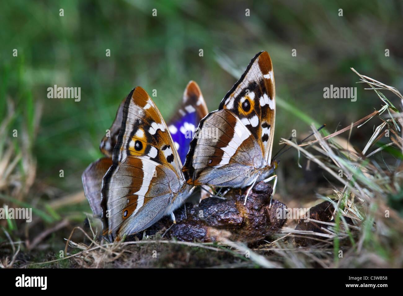 Viola imperatore (Apatura iris) farfalle alimentazione in caduta, Belgio Immagini Stock