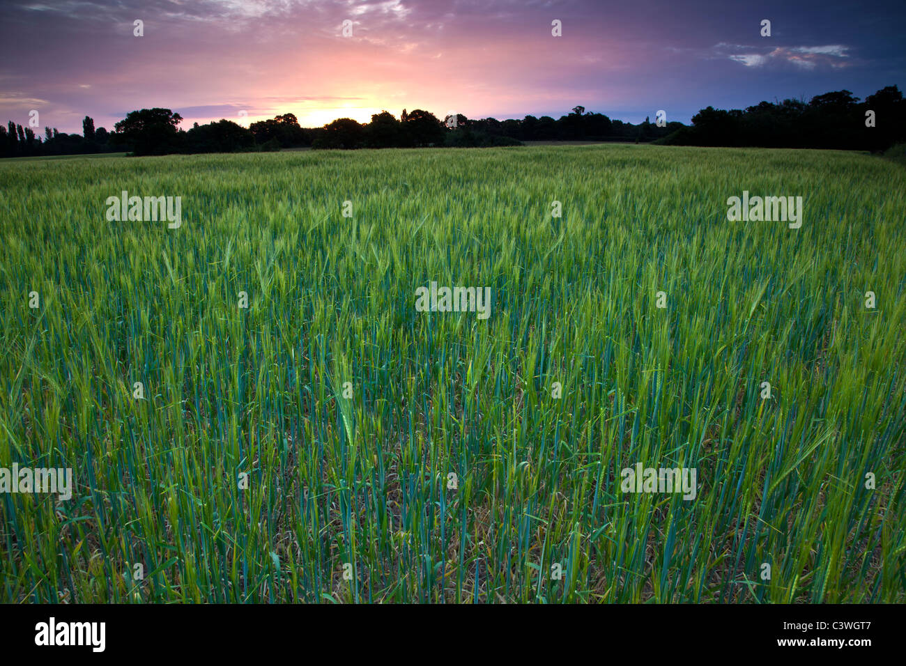 Campo di orzo in primavera all'alba Immagini Stock