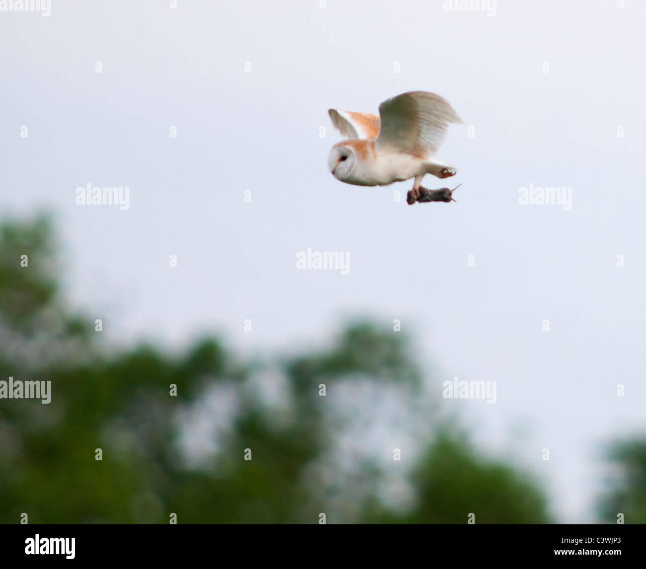 Il barbagianni (Tyto alba) con vole, Warwickshire Immagini Stock