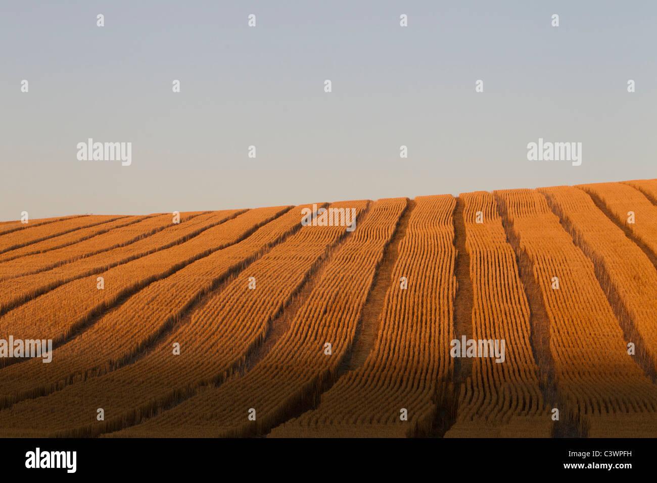 Golden Rolling Palouse campi con tracce di mietitrebbia, Eastern Washington, Stati Uniti d'America Immagini Stock