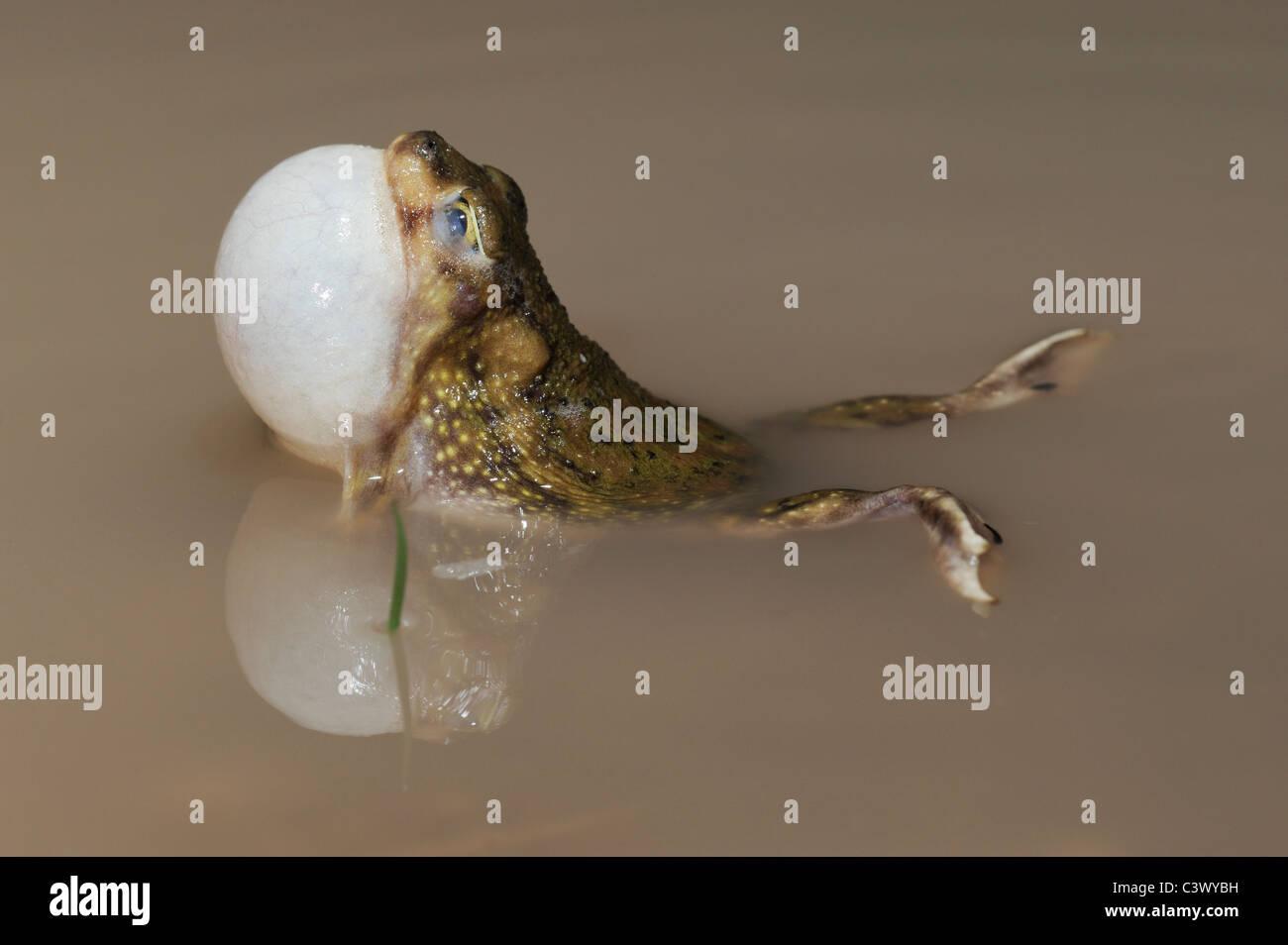 Il lettino Spadefoot (Scaphiopus couchii), Adulto di notte chiamando vocal sac gonfiato, Laredo, Webb County, Texas Immagini Stock