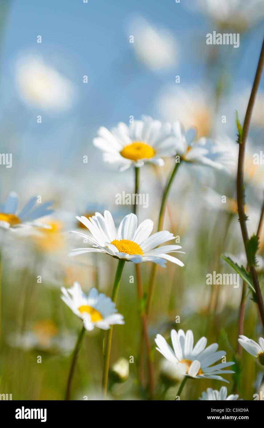 Vista ravvicinata di margherite in campo in piena fioritura Immagini Stock