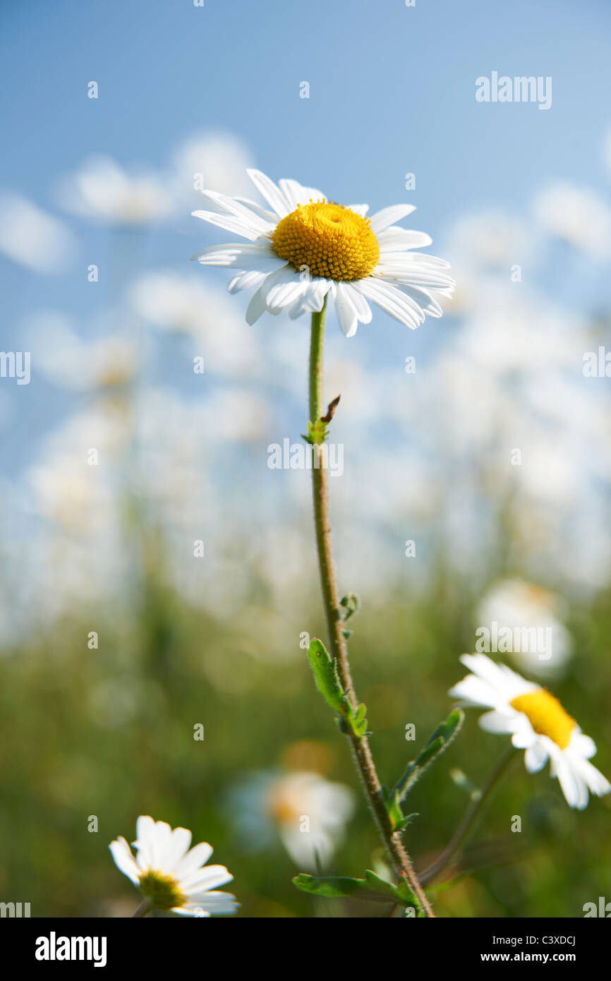 Vista ravvicinata di daisy nel campo in piena fioritura Immagini Stock