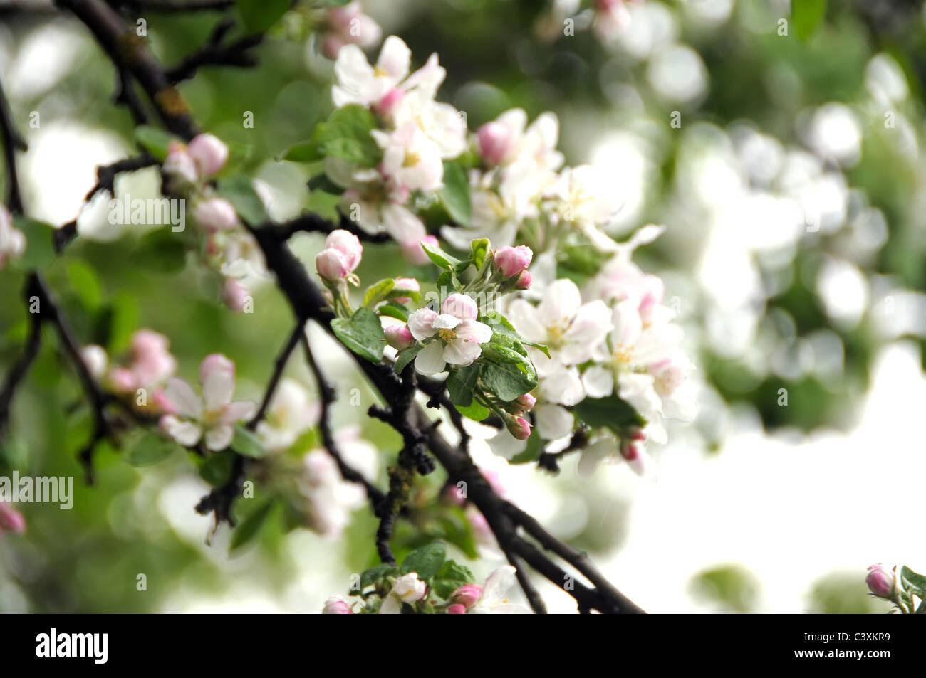Fiore del melo che fiorisce in primavera tempo Immagini Stock