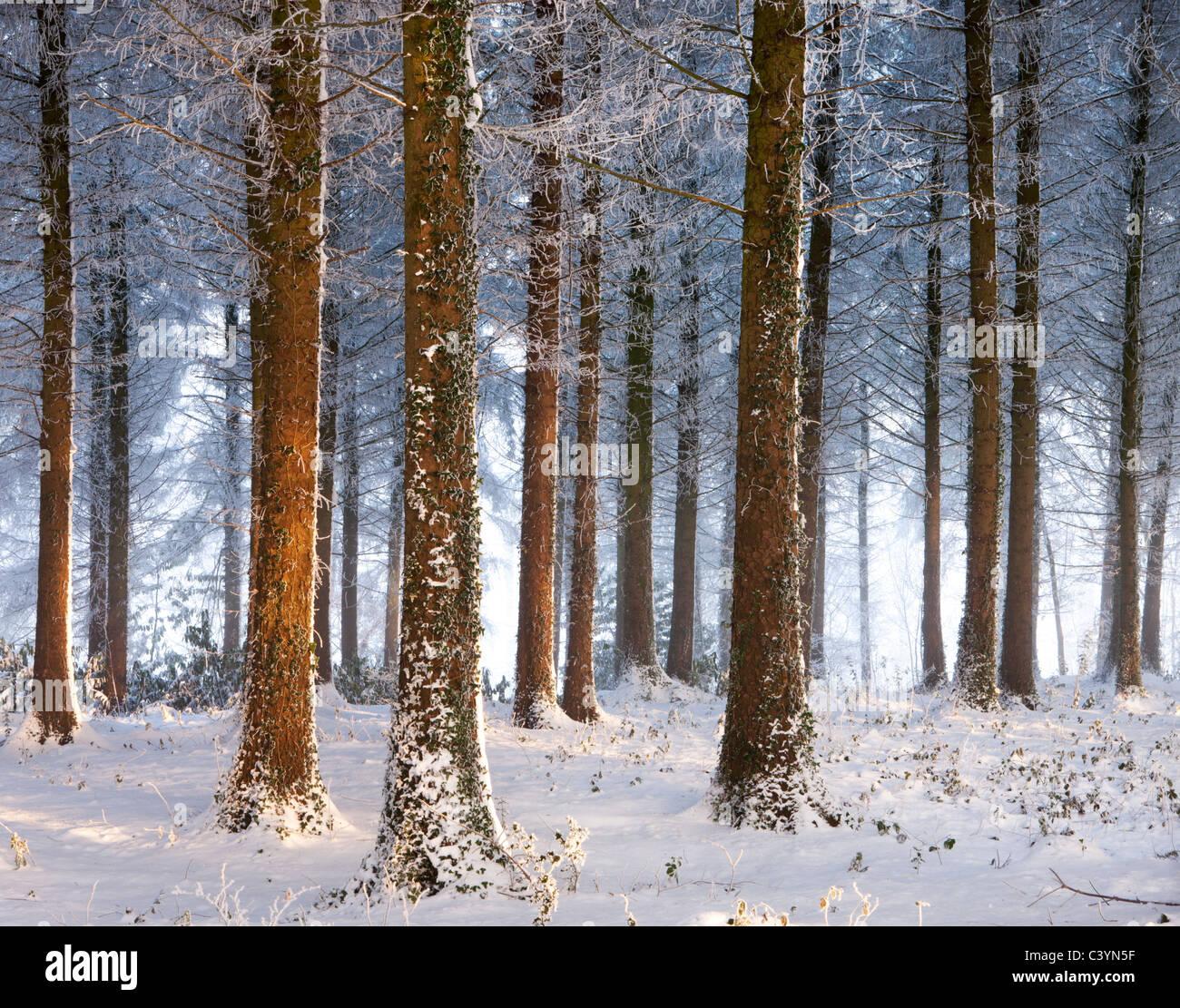Coperta di neve pineta di pino silvestre, Morchard legno, Morchard Vescovo, Devon, Inghilterra. Inverno (dicembre Immagini Stock