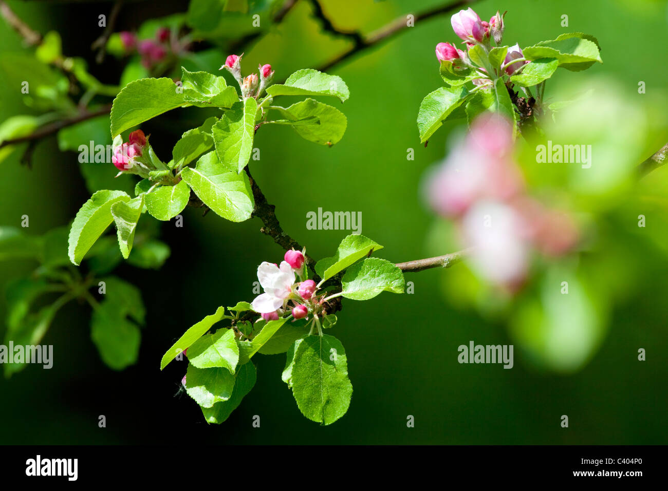 Primavera - Vista dettagliata del melo fiori in fiore nel giardino Immagini Stock