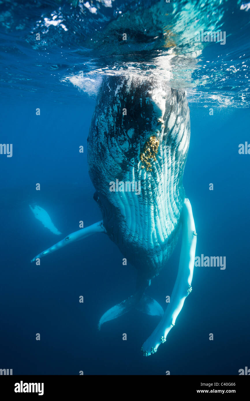Humpback Whale, Megaptera novaeangliae, Banca d'argento, Oceano Atlantico, Repubblica Dominicana Immagini Stock