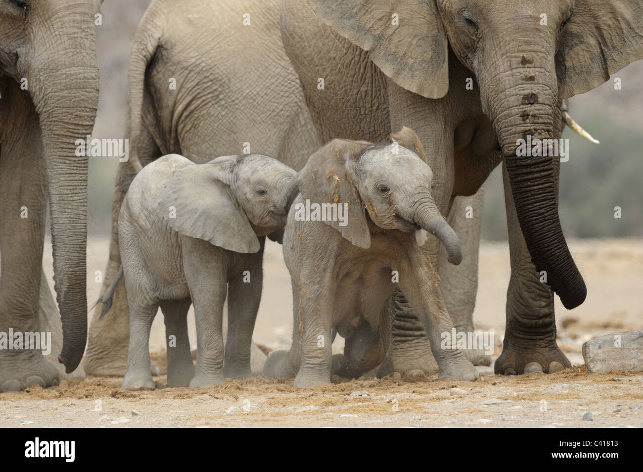 Gli elefanti del deserto, Loxodonta africana, Hoanib fiume secco, Namibia, Africa, Gennaio 2011 Immagini Stock
