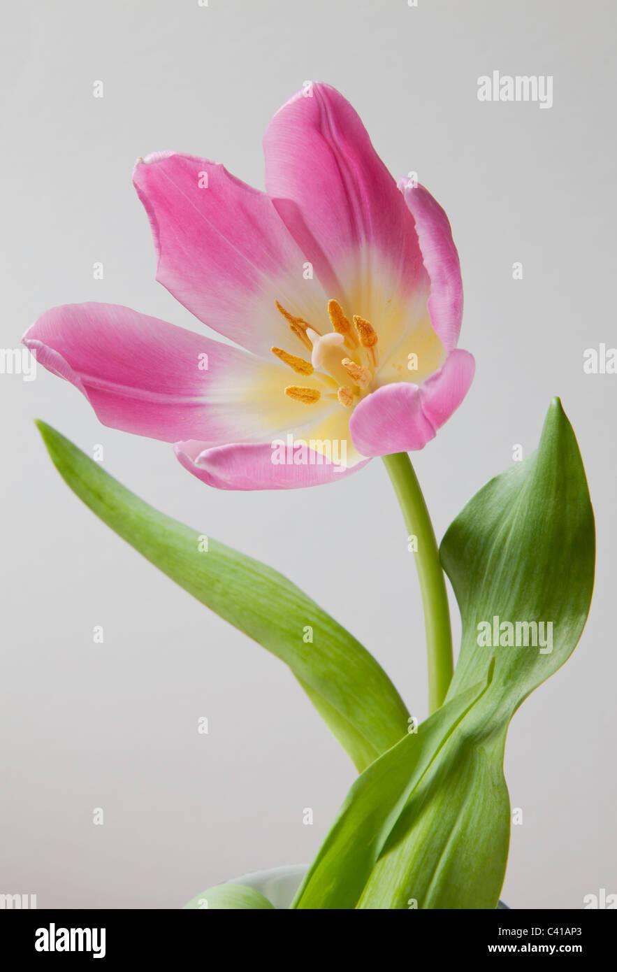 Close-up di rosa tulip testa con petali aperti , il gambo e le foglie verdi. Immagini Stock