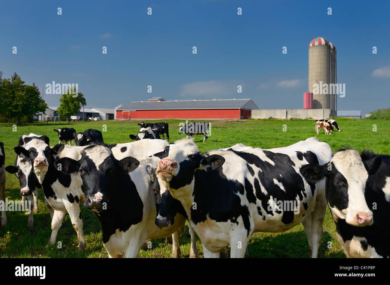 Curioso bovini di razza Holstein su di una fattoria di caseificio in Ontario rurale con fienile e silo Immagini Stock