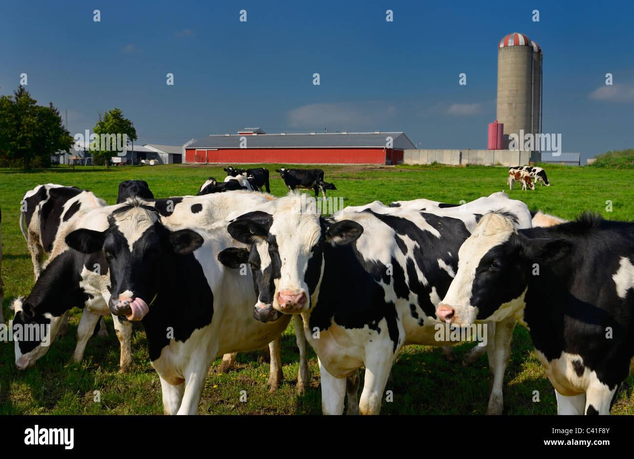 Curioso di giovani bovini di razza Holstein su un caseificio di Vaughan ontario con fienile e silo Immagini Stock