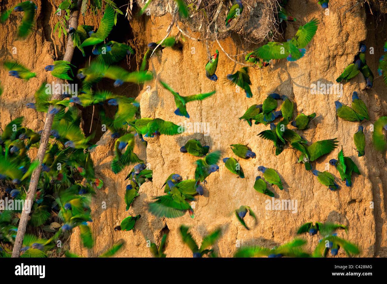 Parco Nazionale del Manu, blu intitolata pappagalli ( Pionus menstruus ) ingestione di argilla da Tambo Blanquillo Immagini Stock
