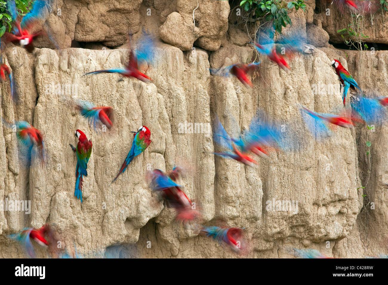 Parco Nazionale del Manu, il rosso e il verde Macaws ( Ara chloroptera ) ingestione di argilla da Tambo Blanquillo Immagini Stock