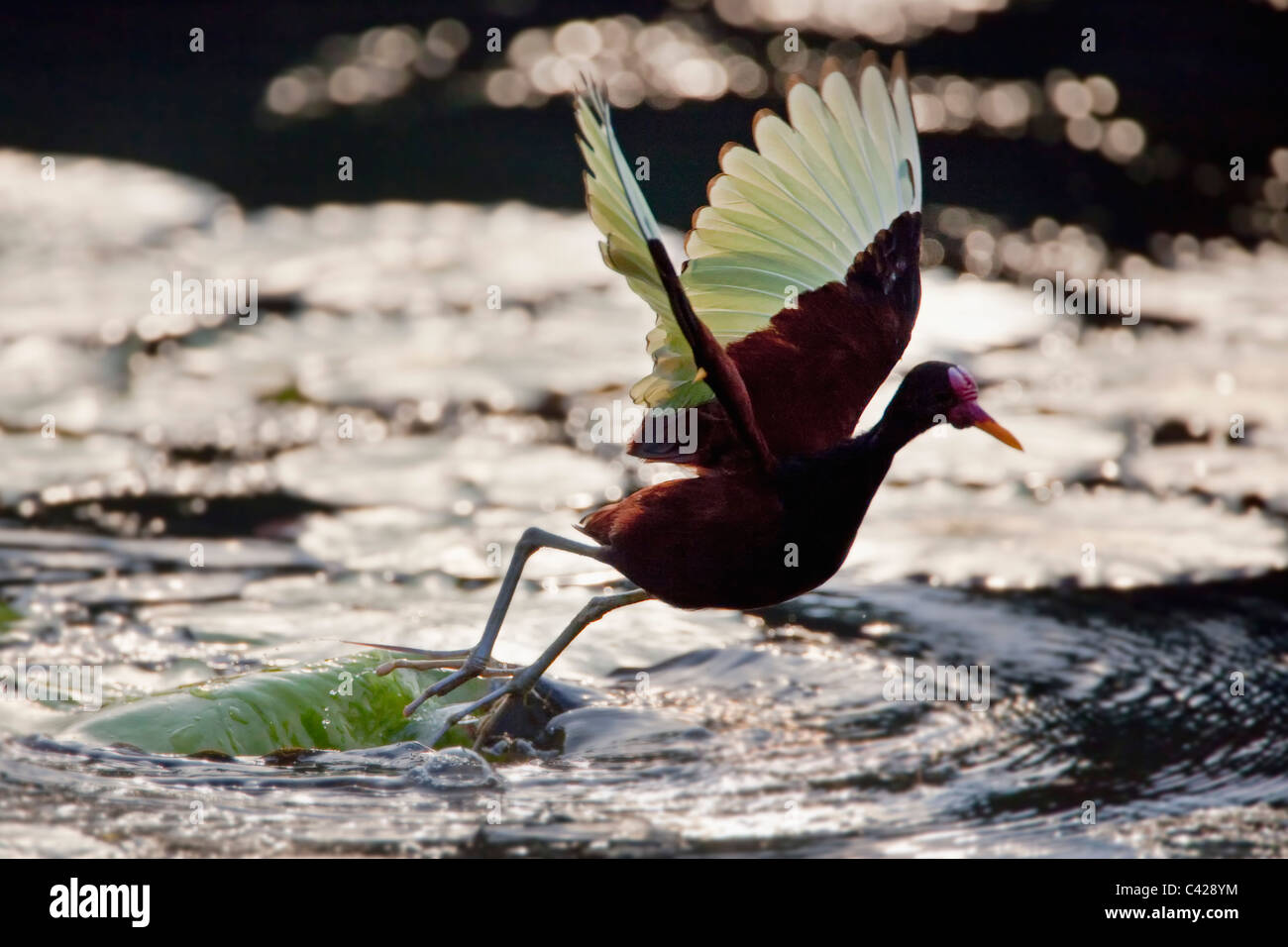 Il Perù, Boca Manu, Blanquillo, Parco Nazionale del Manu, Sito Patrimonio Mondiale dell'UNESCO. Wattled Immagini Stock