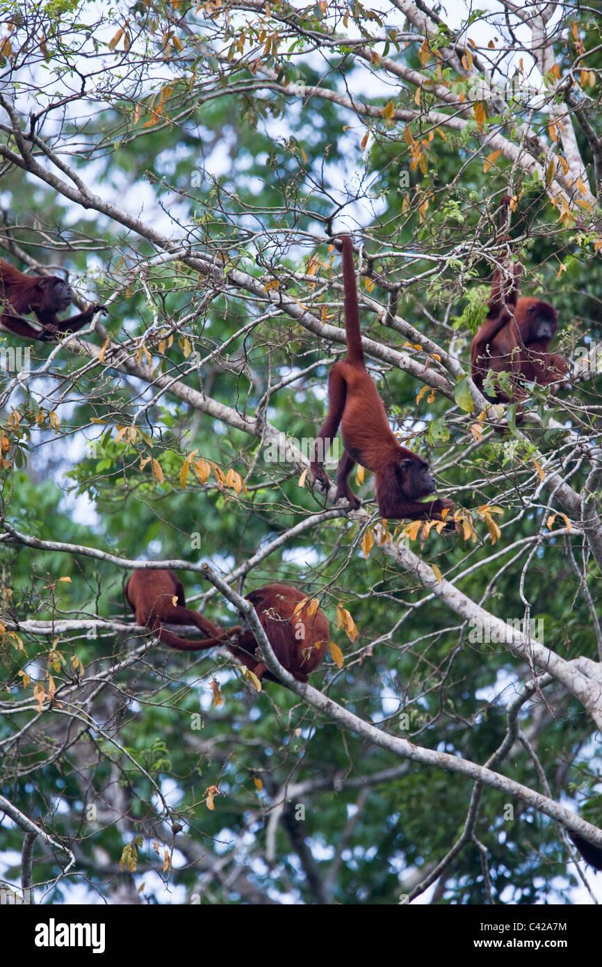 Il Perù, Cruz de Mayo, il Parco Nazionale del Manu, Pantiacolla montagne. Red scimmie urlatrici ( Alouatta Immagini Stock