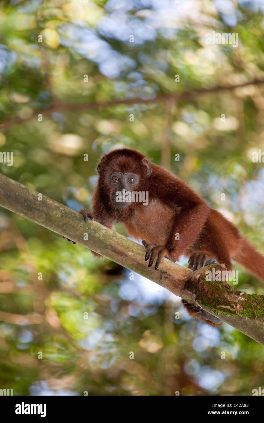 Il Perù, Cruz de Mayo, il Parco Nazionale del Manu, Pantiacolla montagne. Red scimmia urlatrice ( Alouatta Immagini Stock