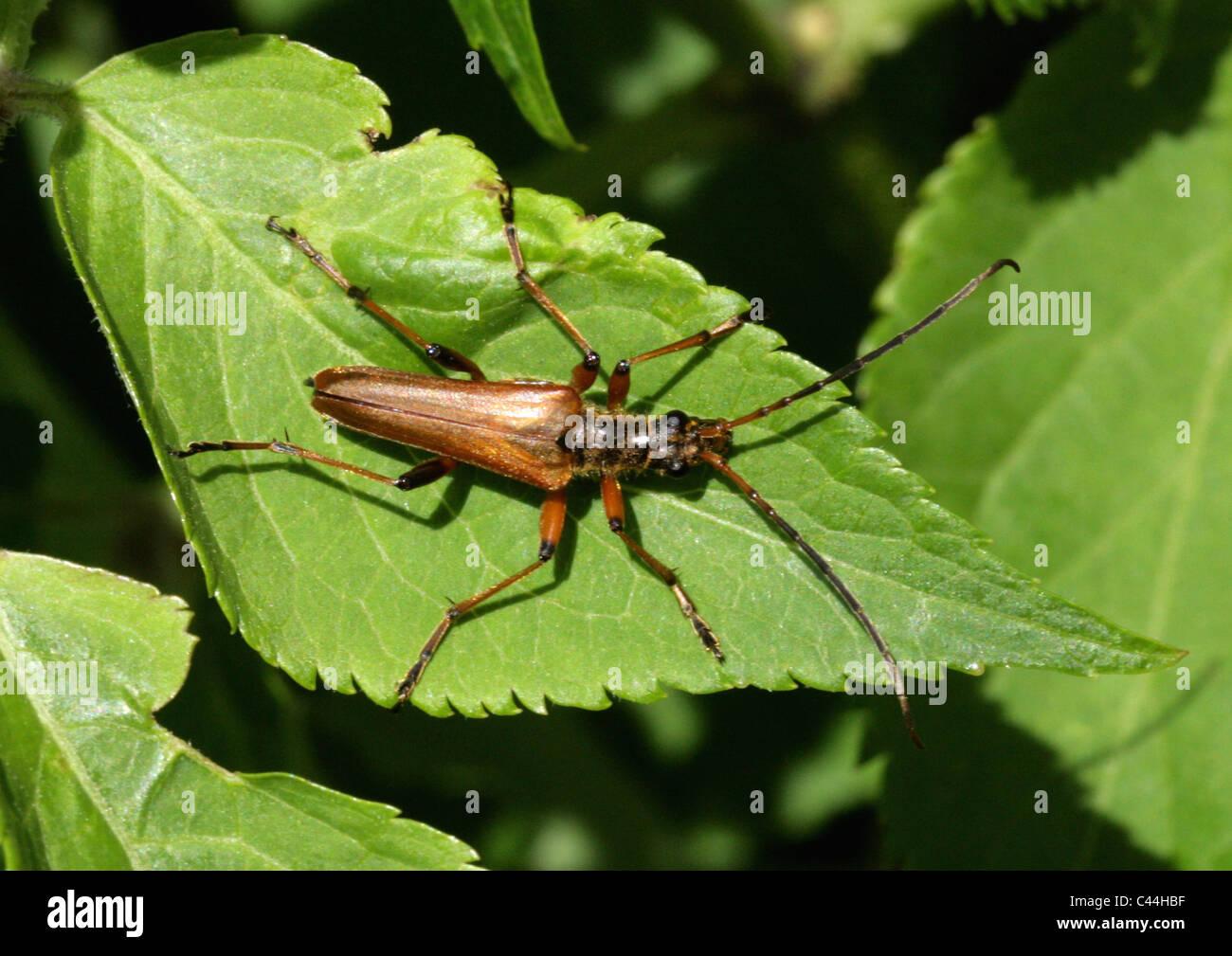 Variabile Long-cornuto Beetle, Stenocorus meridianus, Lepturinae, Cerambycidae, Coleoptera Immagini Stock