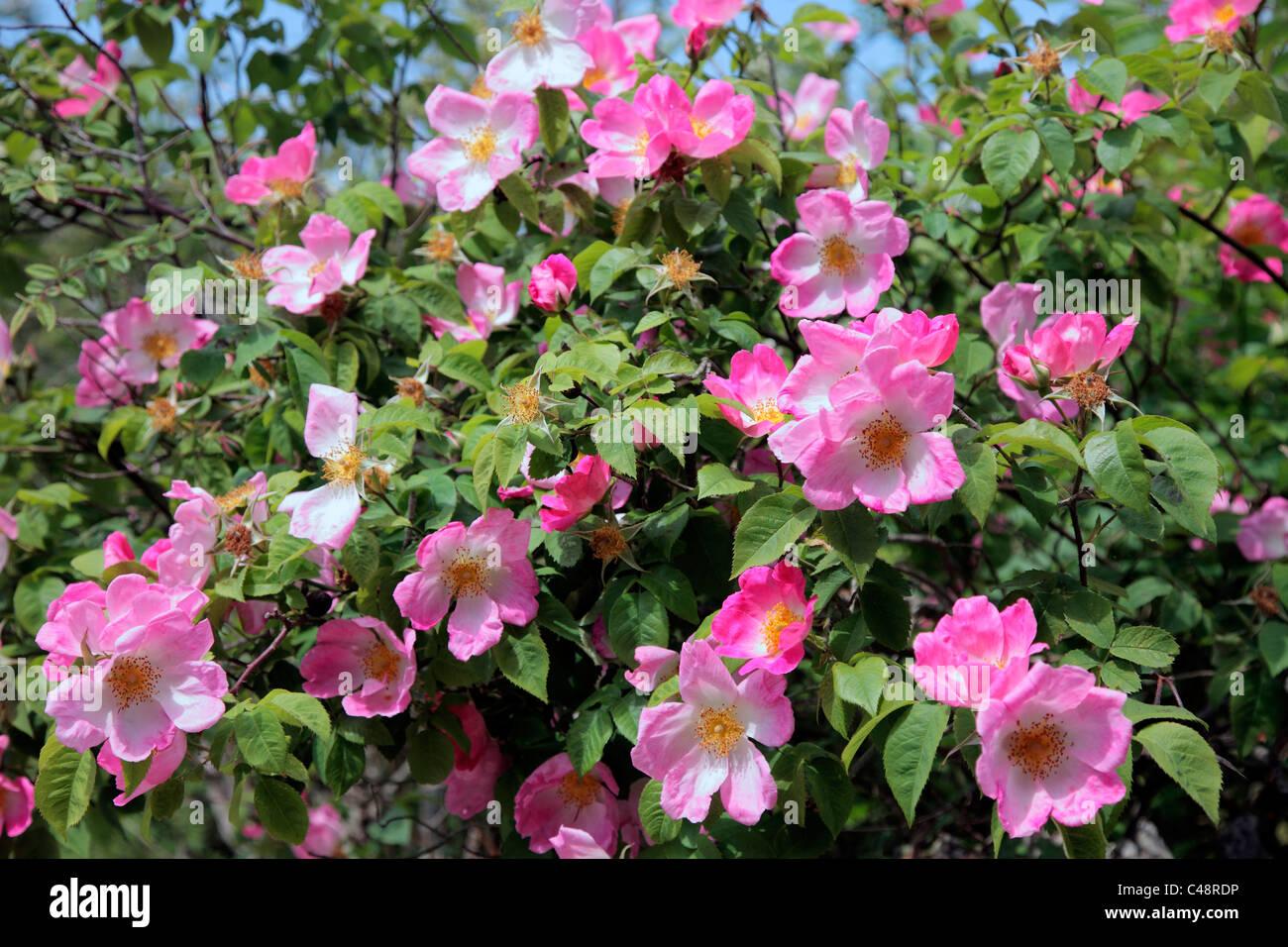 Rosa 'complicata' AGM rosa ad arbusto Immagini Stock