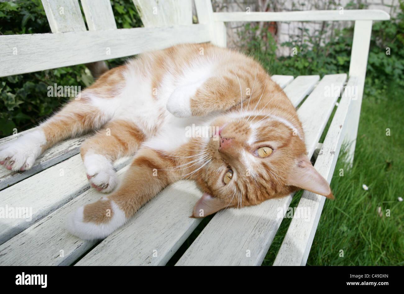 Il gatto domestico singolo adulto in appoggio su un bancale REGNO UNITO Immagini Stock