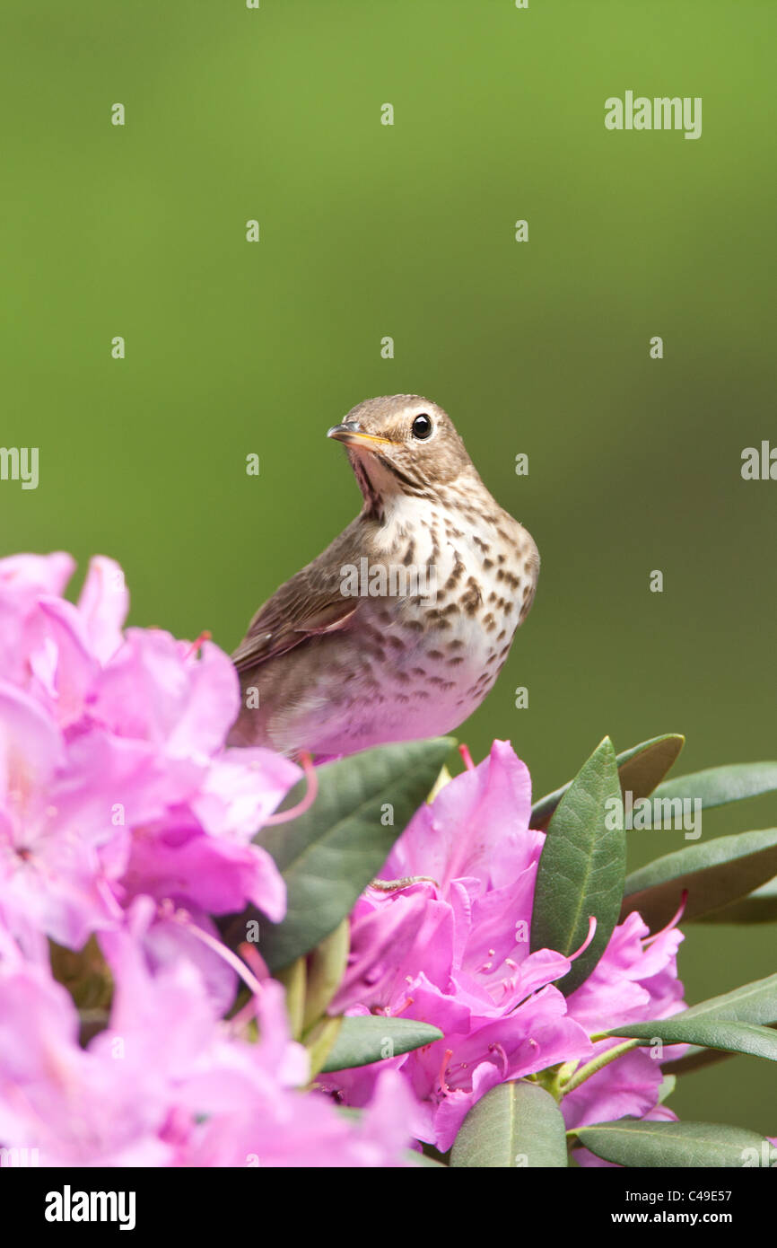 Swainson il tordo si appollaia in fiori di rododendro - Verticale Foto Stock