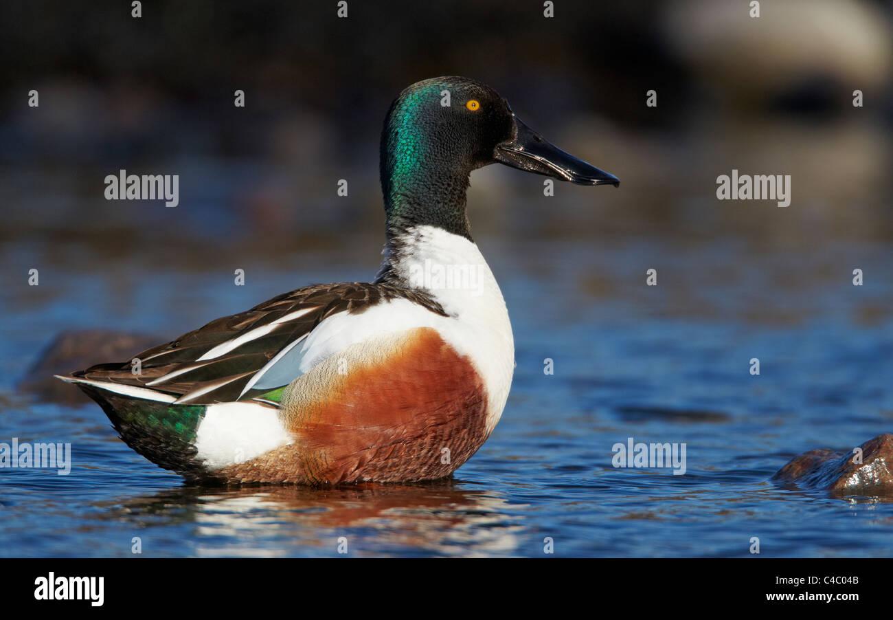 Northern mestolone (Anas clypeata). Drake in piedi in acqua poco profonda Immagini Stock