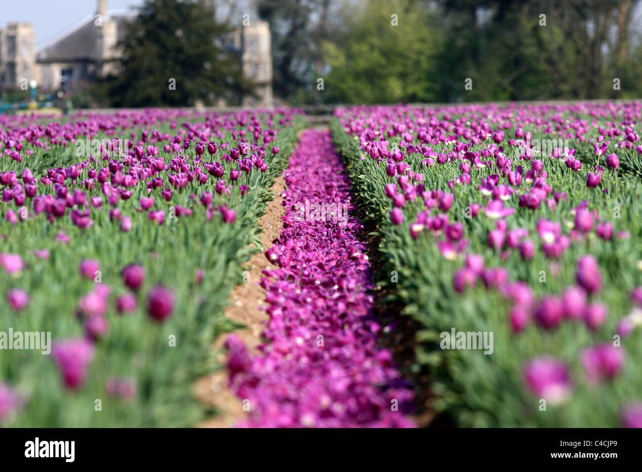 L'ultimo dei 20 milioni di tulipani essendo 'INTITOLATA' nel campo di tulipani nei pressi di NARBOROUGH,Norfolk. Immagini Stock
