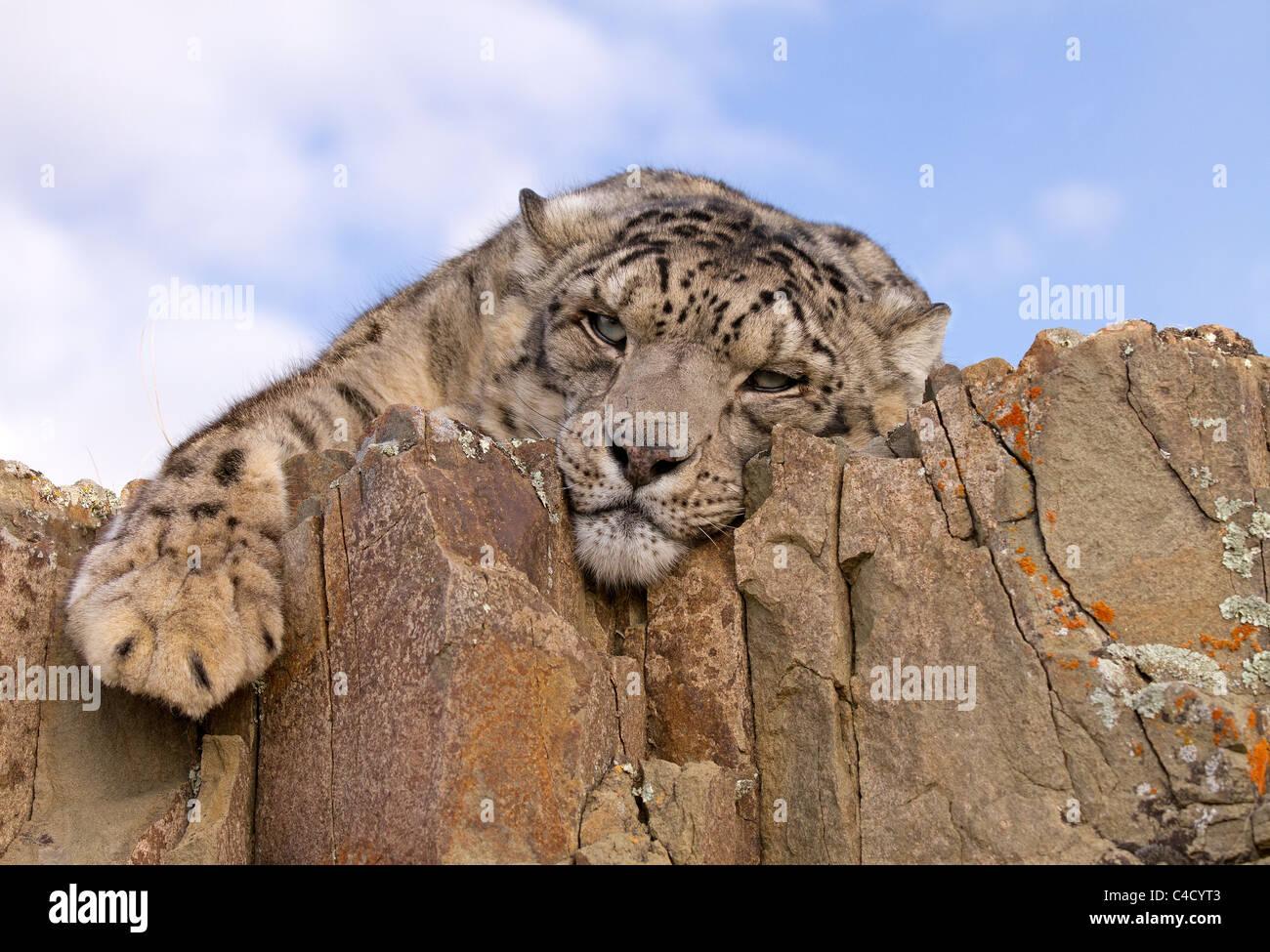 Snow Leopard, Panthera uncia rilassante sulle rocce Immagini Stock