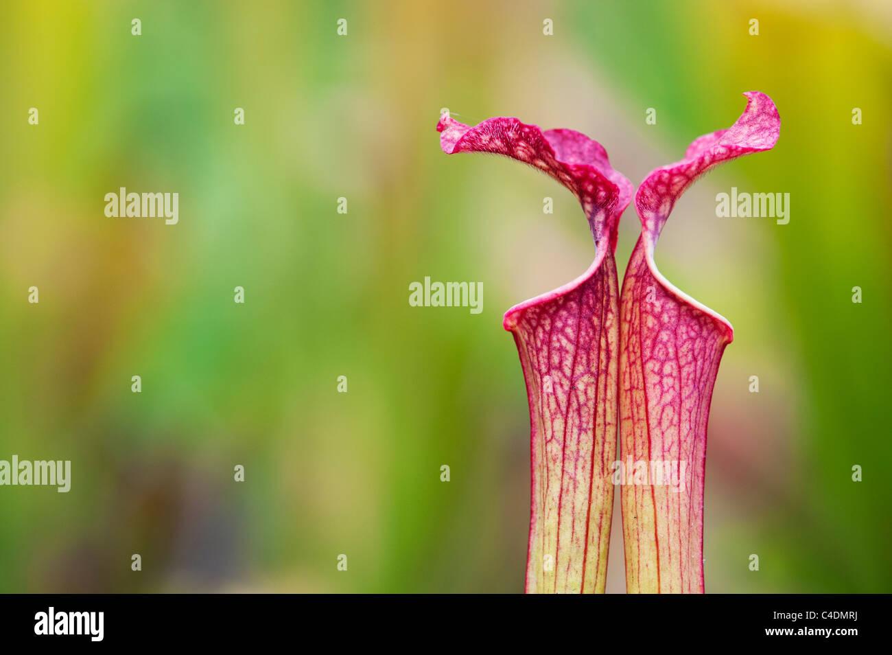 Sarracenia x farnhamii. Pianta brocca. Pianta carnivora Immagini Stock