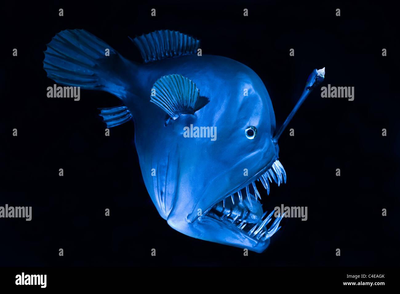 Tiefseefisch, Schwarzangler oder Buckliger Anglerfisch (Melanocetus johnsonii), Humpback la rana pescatrice deep Immagini Stock