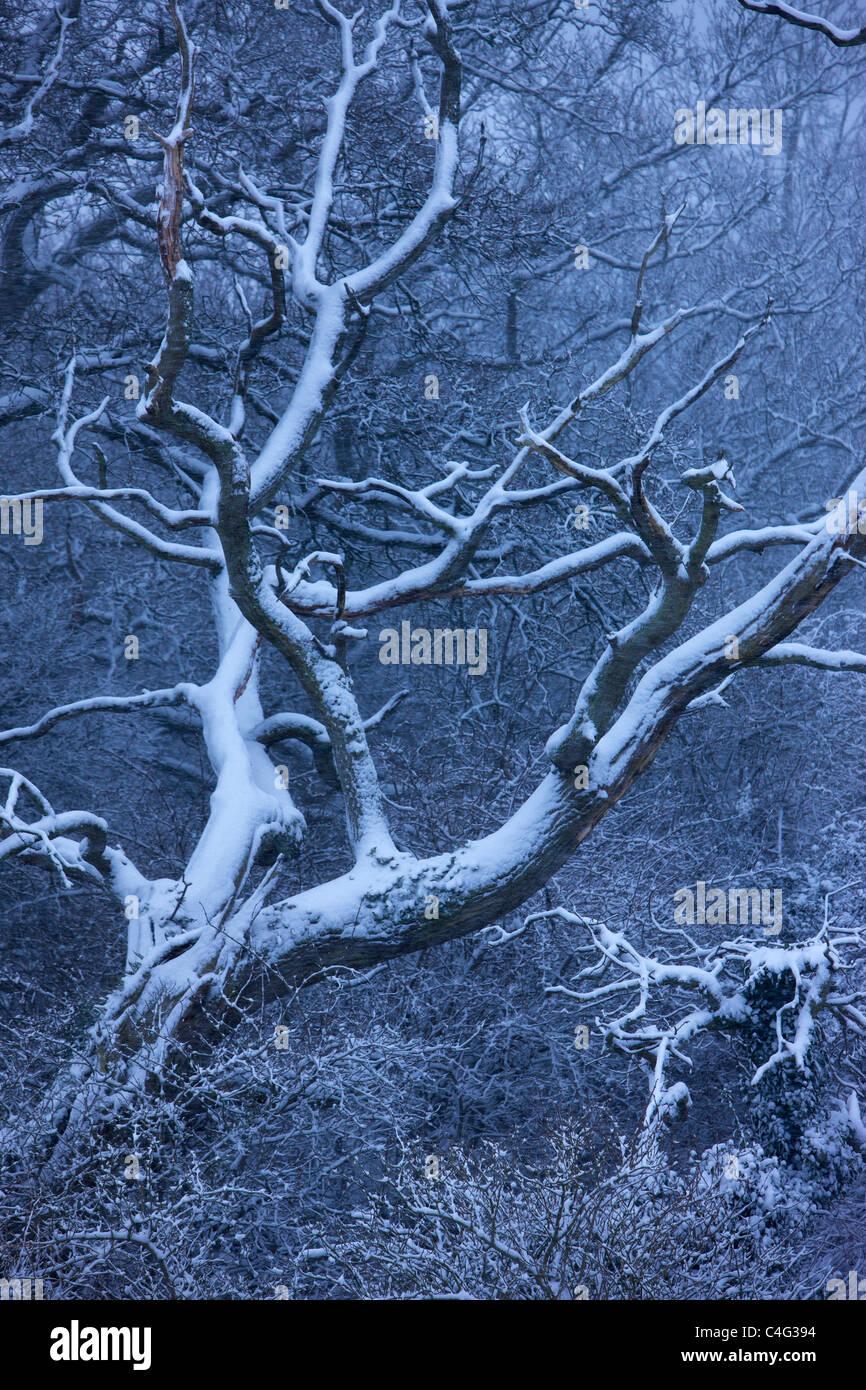 Neve sugli alberi a Castello di Cadbury, Somerset, Inghilterra Immagini Stock