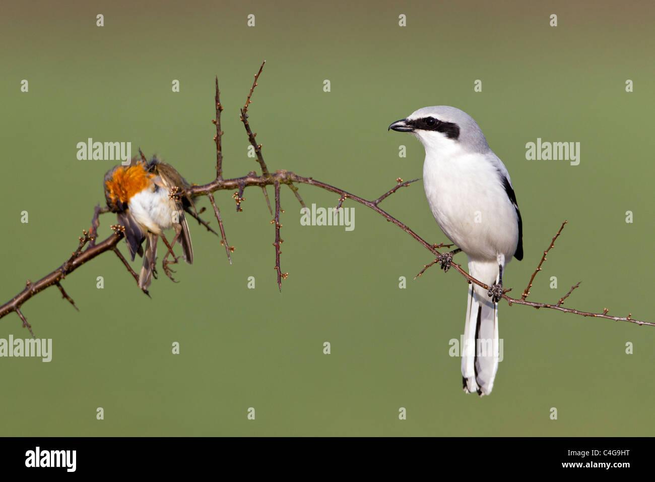 Grande Greay Shrike (Lanius excubitor), appollaiato sul ramo, con impalato robin, Bassa Sassonia, Germania Immagini Stock