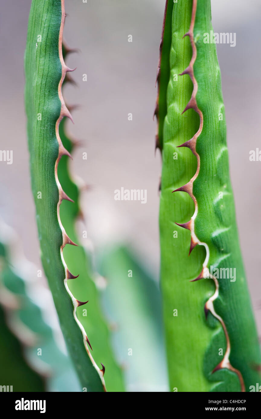 Agave Lophantha Immagini Stock