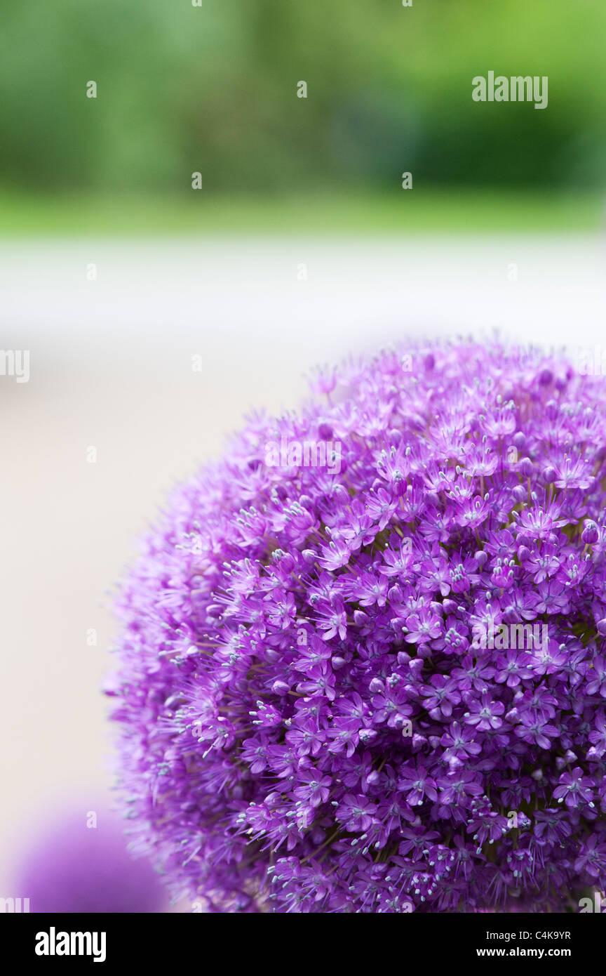 """Allium """"ambasciatore"""". Ornamento cipolle Immagini Stock"""