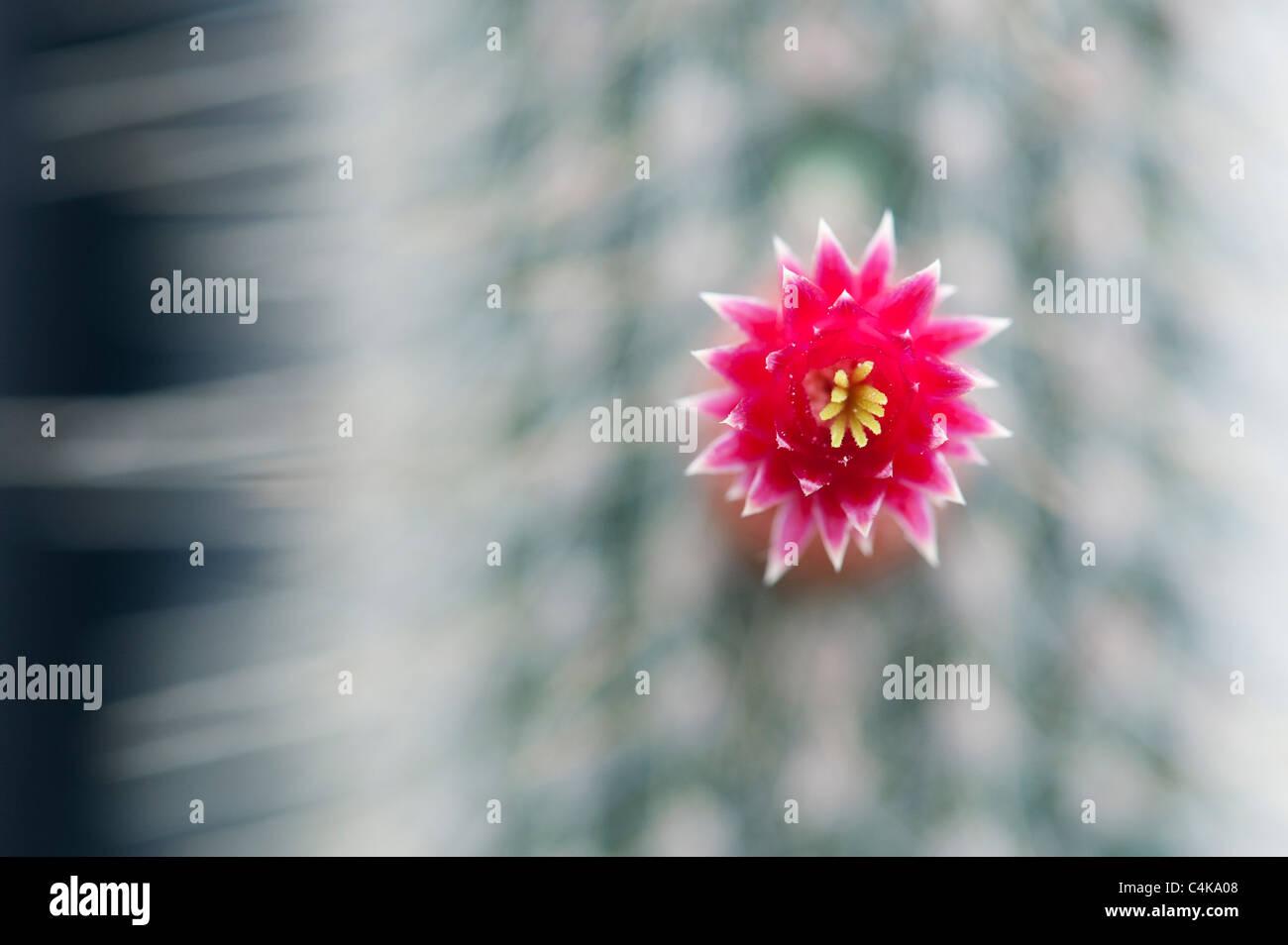 Cleistocactus parviflorus . Fioritura Cactus Immagini Stock