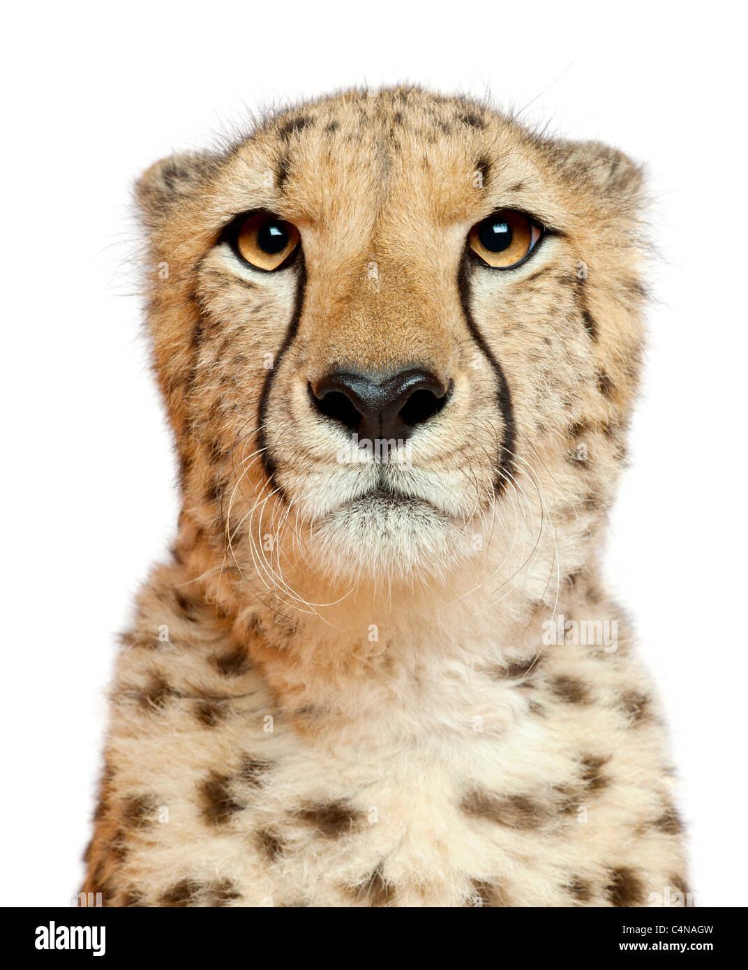 Close-up di ghepardo, Acinonyx jubatus, 18 mesi di età, di fronte a uno sfondo bianco Foto Stock