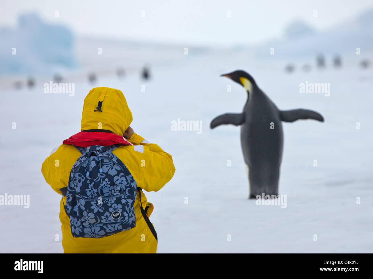 Tourist fotografando pinguino imperatore su ghiaccio, Snow Hill Island, Antartide Immagini Stock