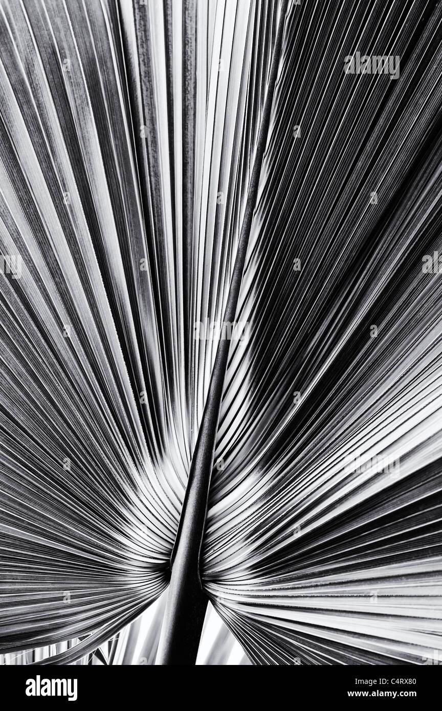 Bermuda Palmetto. Sabal bermudana. Bibby foglia d'albero. Monocromatico Immagini Stock