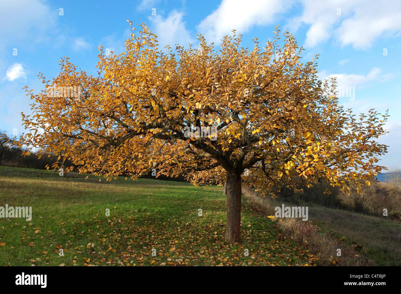 Apple domestico (malus domestica). Albero in autunno. Immagini Stock