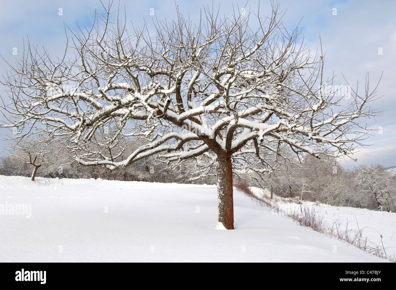 Apple domestico (malus domestica). Albero in inverno. Immagini Stock