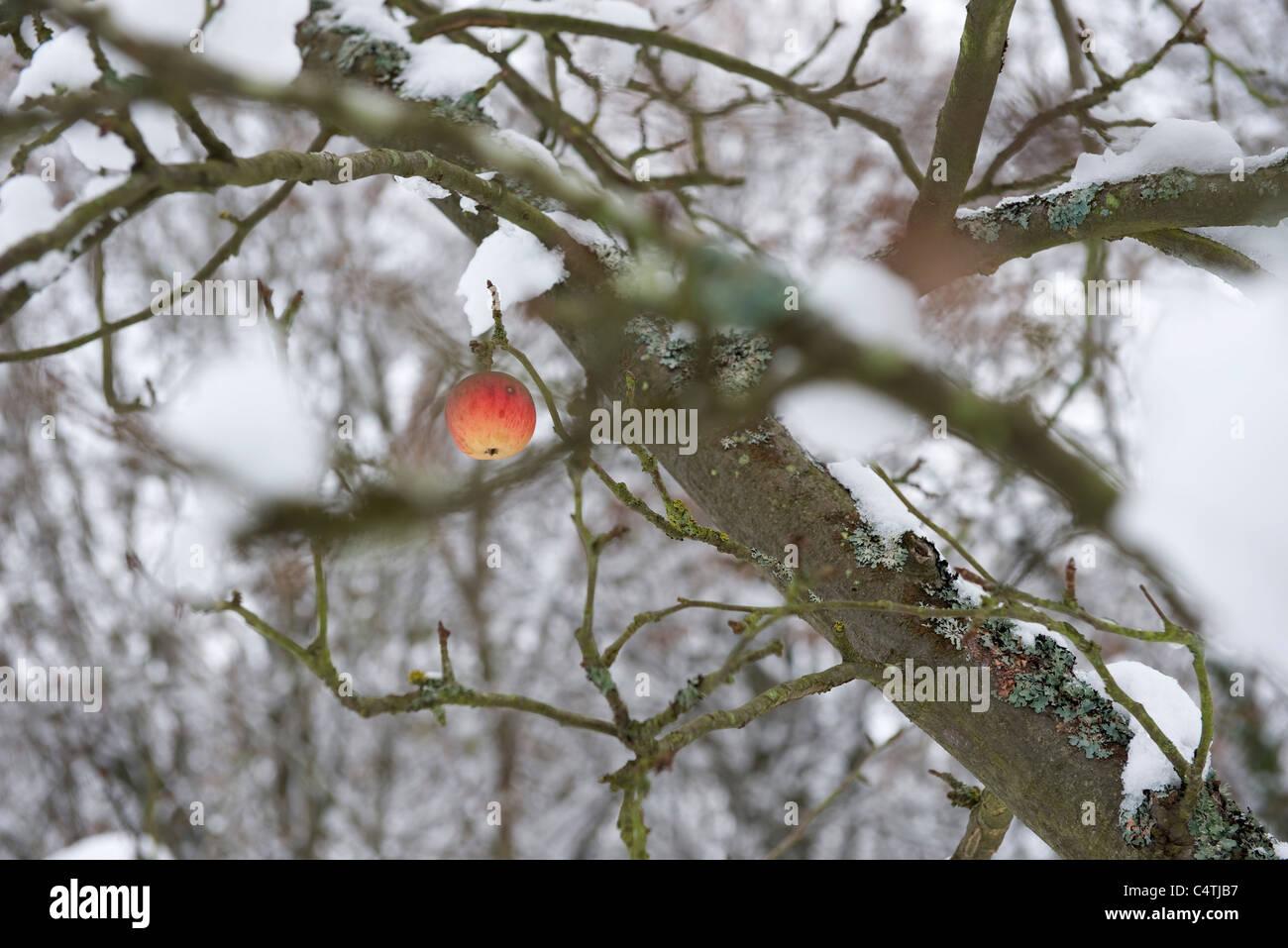 Unico apple su neve tree Immagini Stock