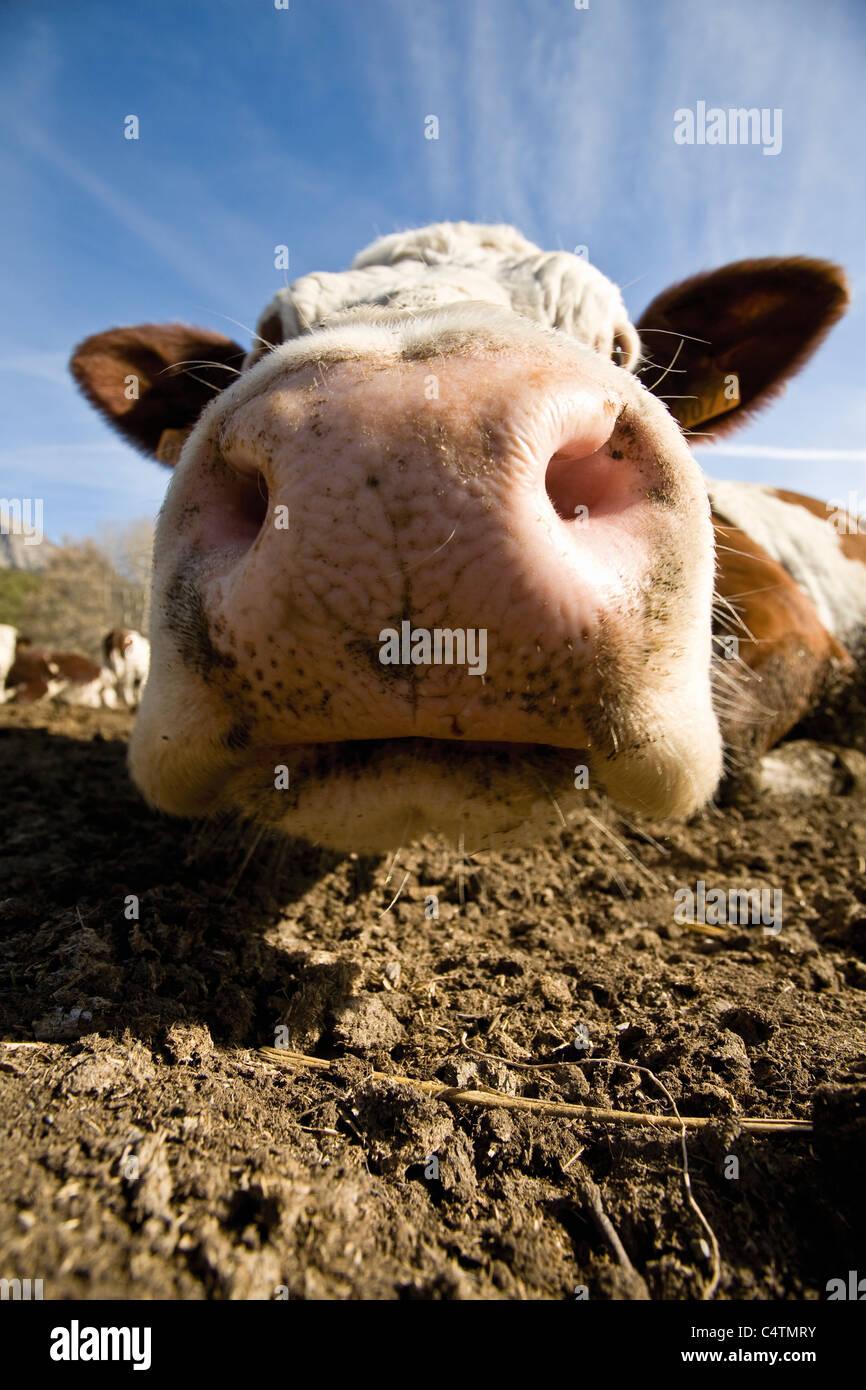 Vacca di muso, close-up Immagini Stock