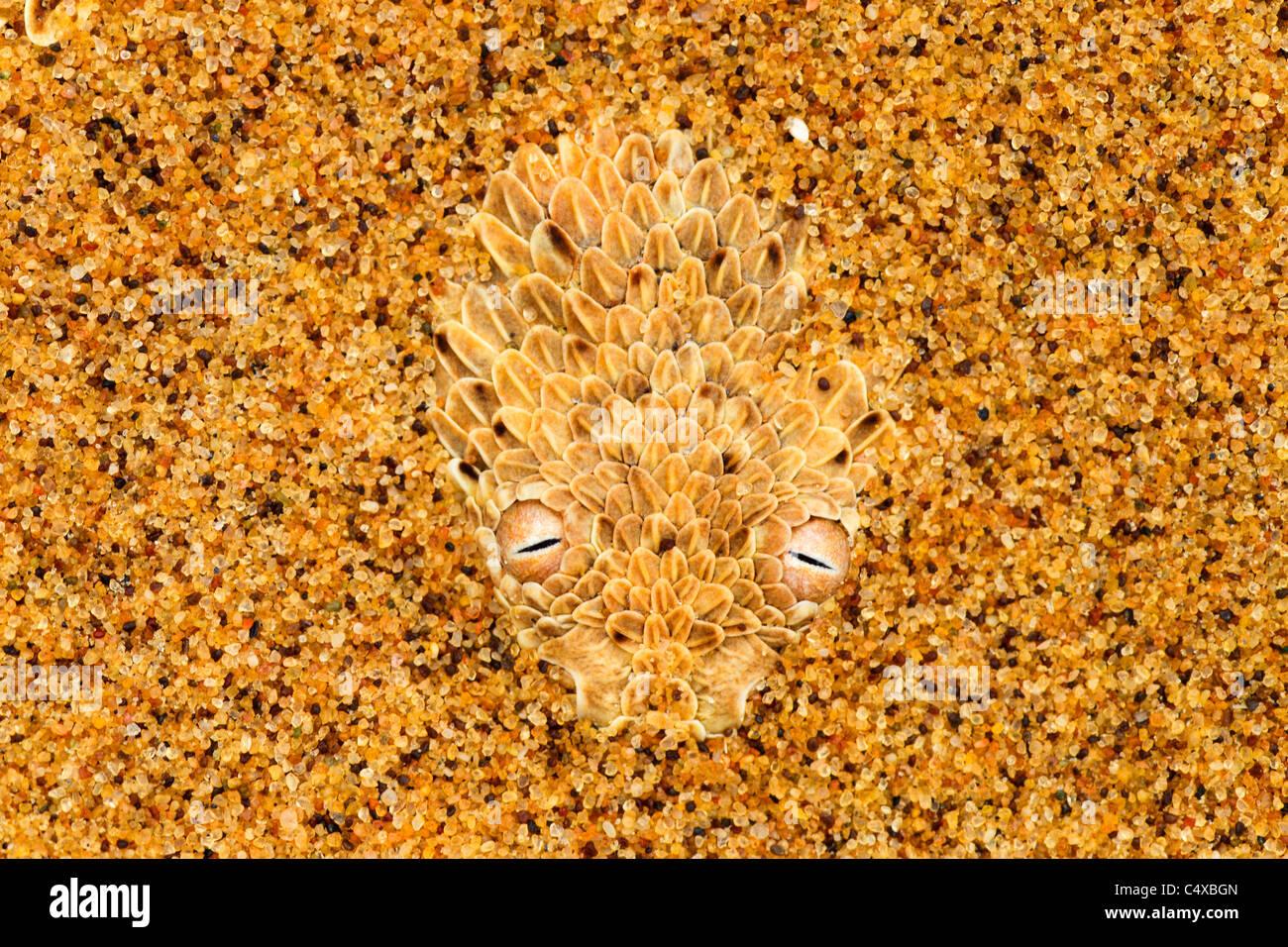 Il sommatore di Sidewinder (Bitis peringueyi) è un infame viper delle specie che si trovano nel deserto del Immagini Stock