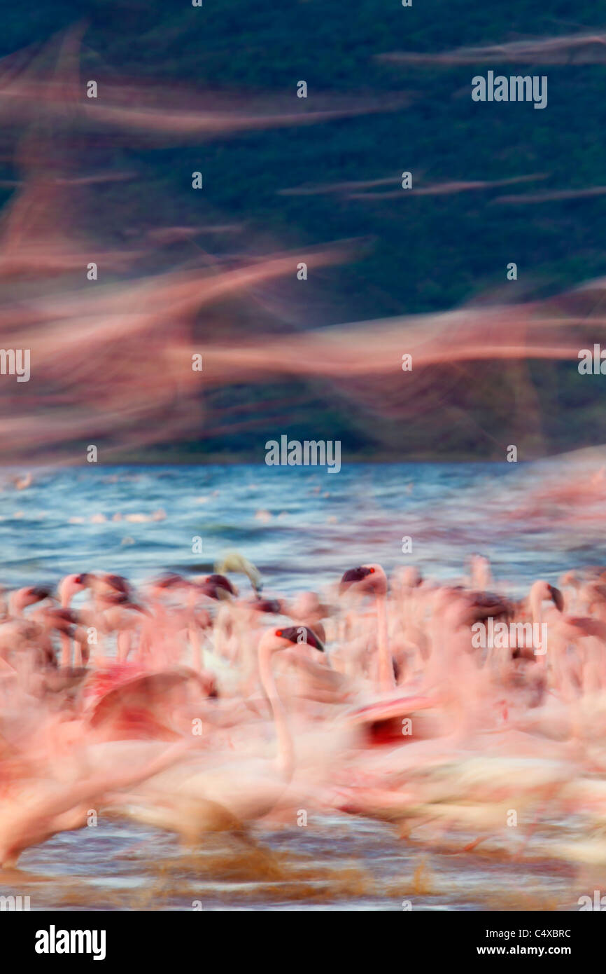 Lesser Flamingo (Phoenicopterus minor) presso il lago Bogoria.Kenya Immagini Stock