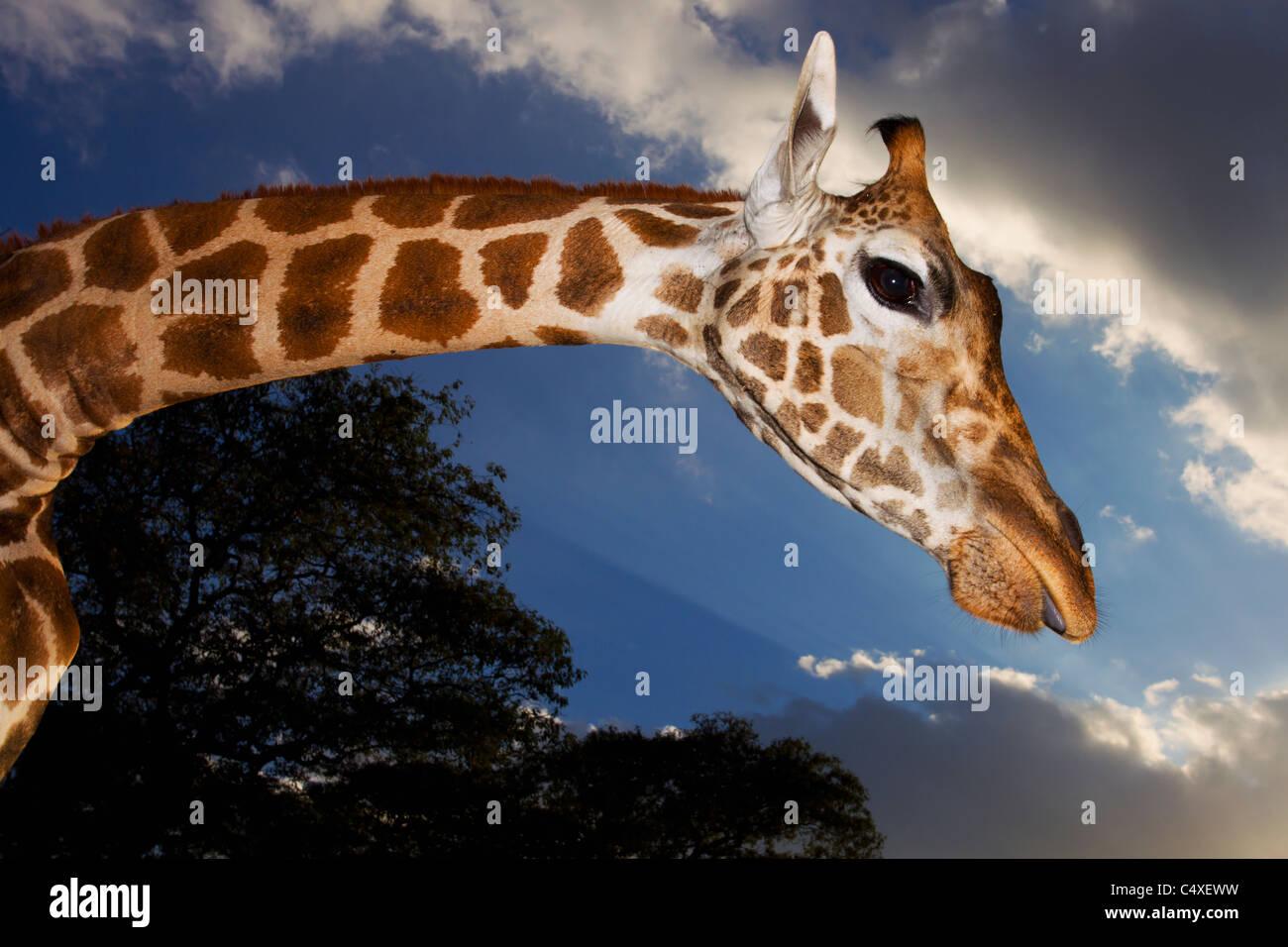 Giraffa Rothschild (Giraffa camelopardalis rothschildi) è una delle 9 sottospecie di giraffa.Giraffe Manor Immagini Stock